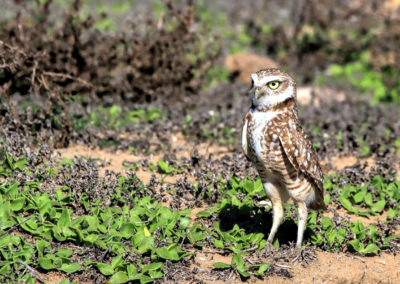 Burrowing Owl SQ